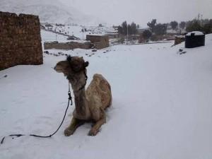 Salah satu imej yang lebih pelik menunjukkan unta duduk dalam salji.